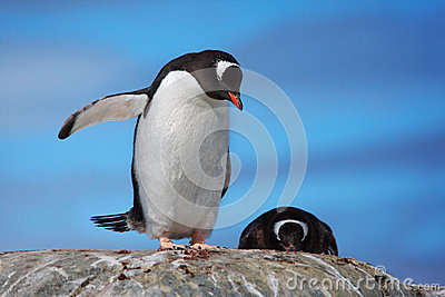 Two Gentoo Penguins on a rock
