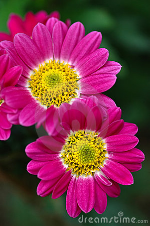 Free Two Gerbera Daisies Stock Images - 6020284