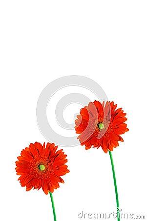 Two gerbera daisies