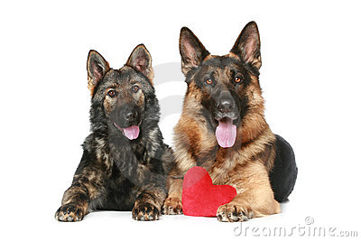 Two German shepherd dogs with red Valentine heart