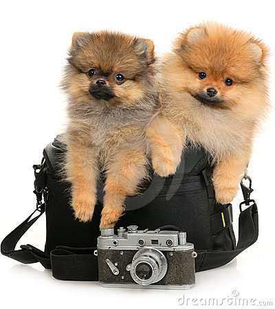 Two German Spitz