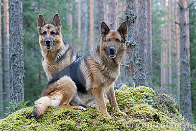 Two Germany shepherds