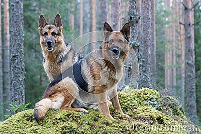 Two Germany shepherds
