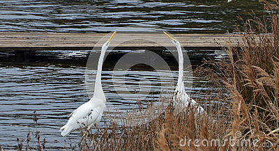 White herons fighting