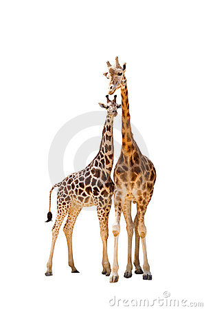 Free Two Giraffe Royalty Free Stock Images - 15393289