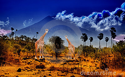 Two giraffe in savannah