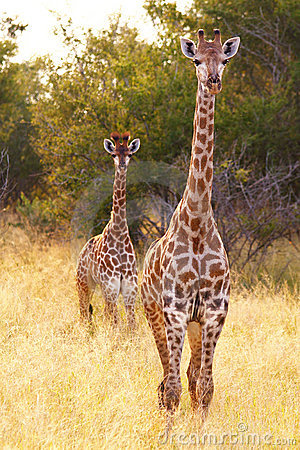 Free Two Giraffes Royalty Free Stock Photography - 19159377