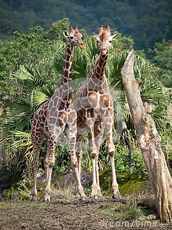 Free Two Giraffes Stock Photo - 24847430