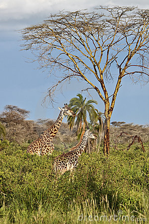 Two giraffes are in the African savannah