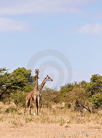 Two giraffes in one