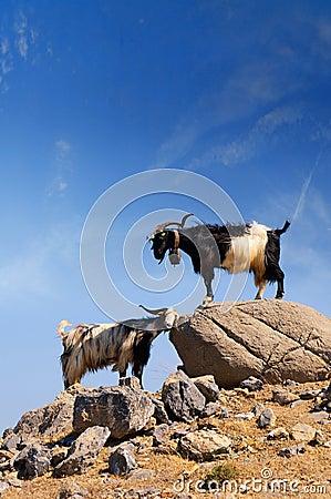Two goats, capra aegagrus aegagrus