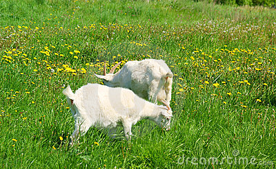 Two goats grazing on grass