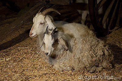 Two Goats sitting
