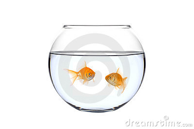 Two golden fish in a bowl