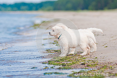 Two golden retriever puppies at the sea