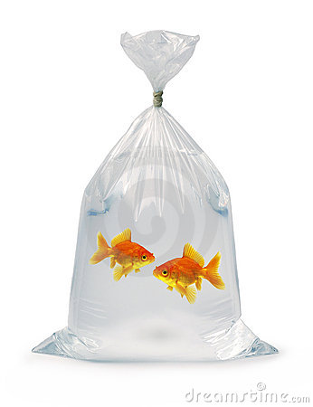 Two Goldfish in a bag