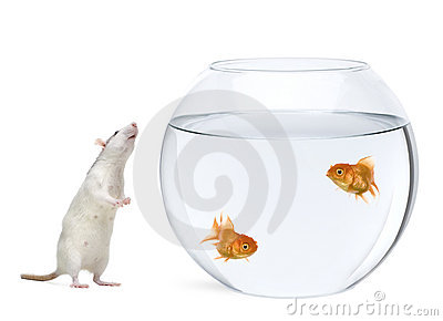 Two goldfish in fish bowl, rat smelling nearby