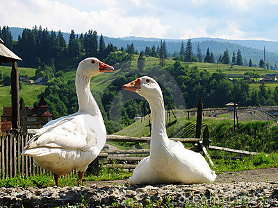 Two gooses