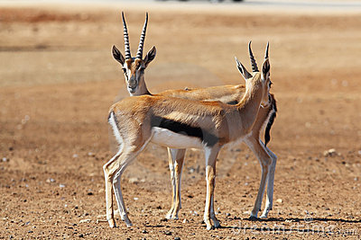 Two graceful gazelle Thomson is going to meet
