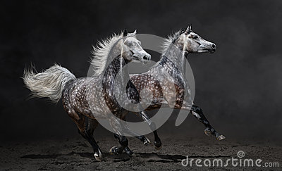 Two gray arabian horses gallop on dark background