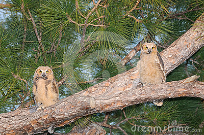 Two Great Horned Owl babies - Bubo virginianus