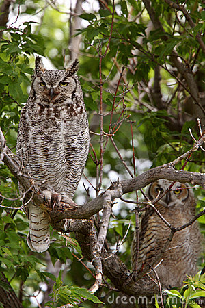 Two Great Horned Owl fledglings