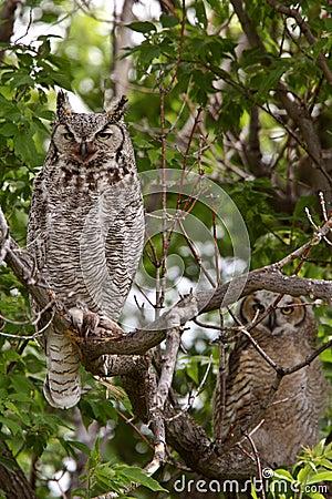 Two Great Horned Owl fledglings