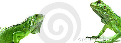 Two Green Iguanas facing each other