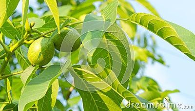 Two green walnuts
