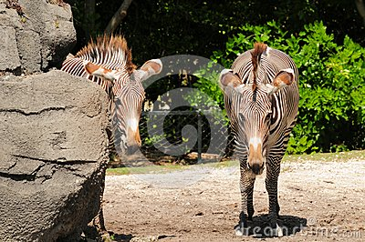 Two Grevy s zebras