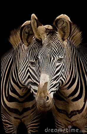 Free Two Grevy S Zebras Stock Photos - 613123