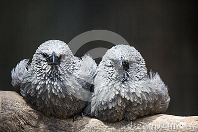 Two grey birds