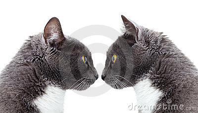 Two grey cat.