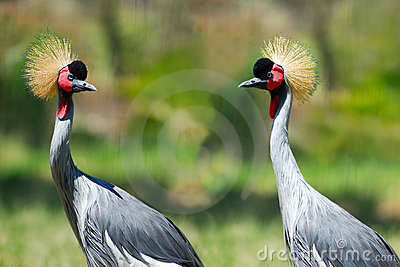 Two Grey Crowned Cranes Royalty Free Stock Photos - Image: 4737078