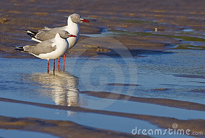 Two greyheaded gulls