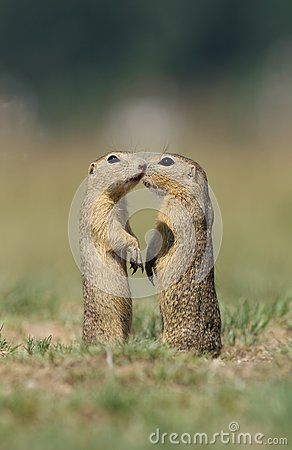 Two Ground Squirrels Stock Photography - Image: 25718852