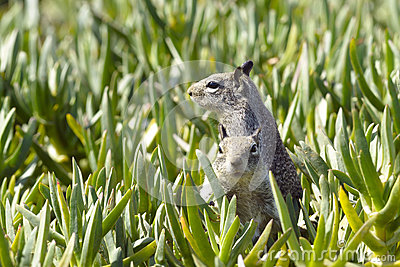 Two Ground squirrels