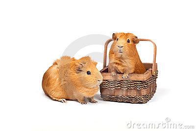 Two Guinea pigs and basket
