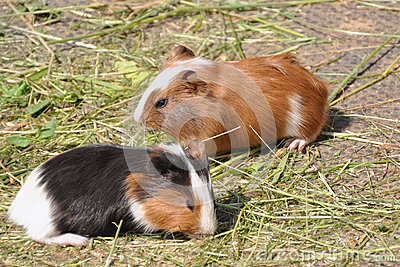 Two Guinea Pigs (Cavia porcellus)