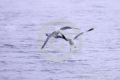 Two gulls fight for fish.