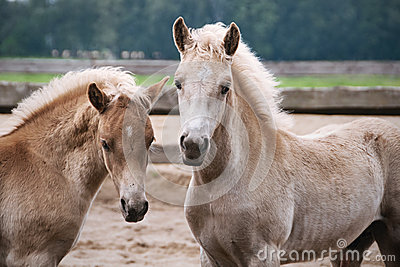 Two Haflinger pony foals