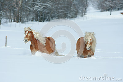 Two haflingers with long mane moving in snow