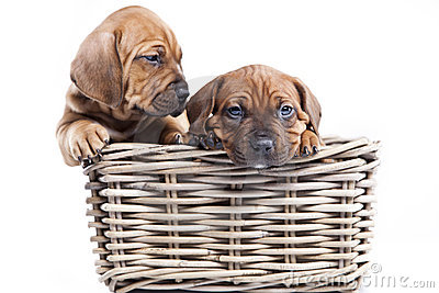 Two happy dogs  on white background