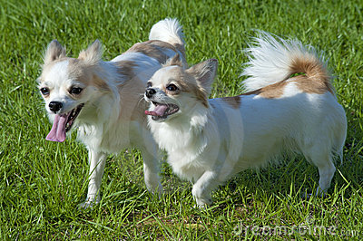 Two  happy walking chihuahua dogs