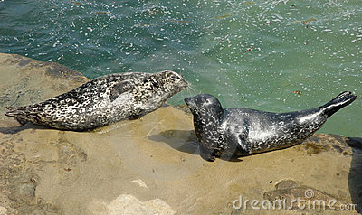 Two harbor seals resting on the rock