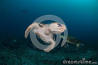 Two hawksbill turtles underwater