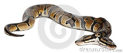 Two headed Royal Python or Ball Python