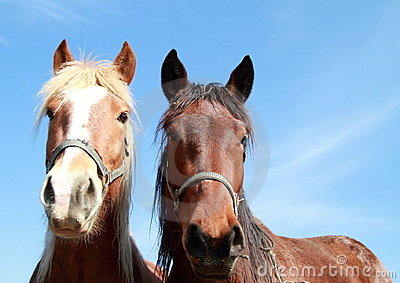 Two heads of a horses