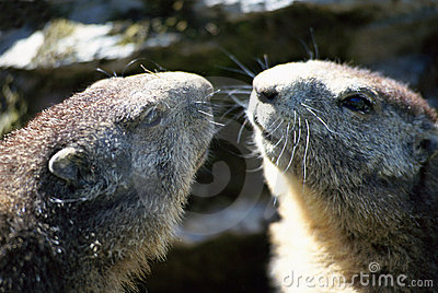 Two heads of marmots face to face