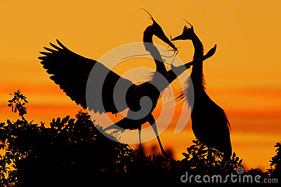 Two herons. Love on the tree with orange sunset. Wildlife scene from nature. Beautiful bird on the rock cliff. Beautiful birds in Stock Photo